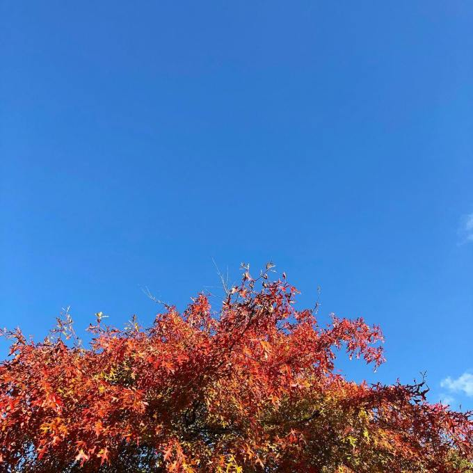 Vibrant clear blue skies above the red autumnal leaves of a changing oak tree