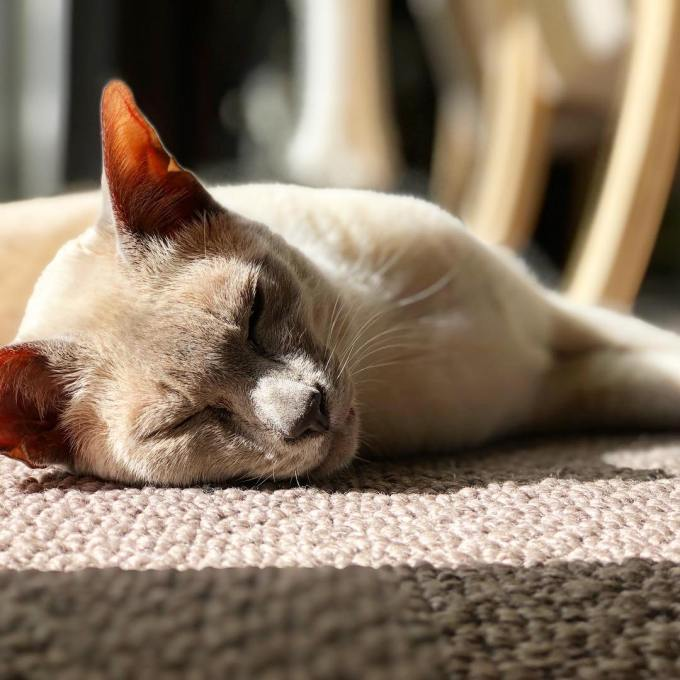 Sissy the lilac point Tonkinese cat lying in the sunshine
