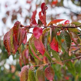 Red, green, and changing autumnal leaves on the cherry tree with raindrops on them and a gray background