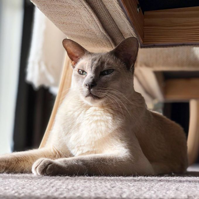 Sissy the cat sunbathing under a chair