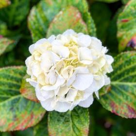 White hydreangea flower with green leaves turning red around the edges during the autumn