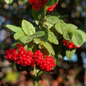 Cotoneaster berries on a branch