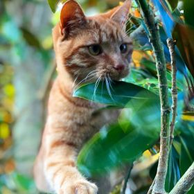 Jack the ginger cat is climbing branches and looking alert with green leaves around him