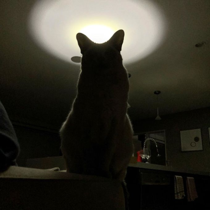 Silhouette of lilac point Tonkinese cat with flashlight illuminating the ceiling behind her during a power cut