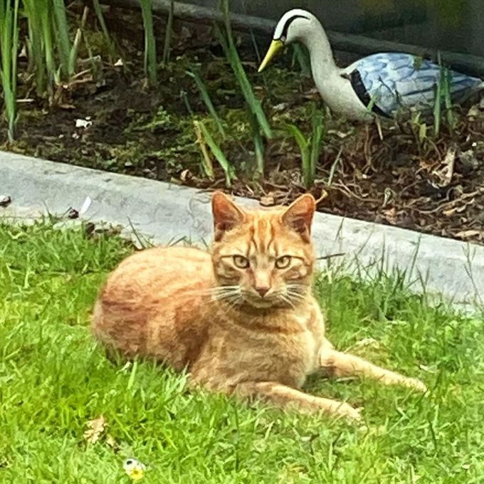Jack the ginger cat lying in the grass in the yard