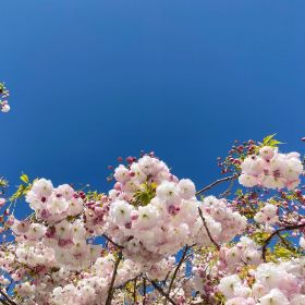 Cherry blossom on a tree with blue skies behind it