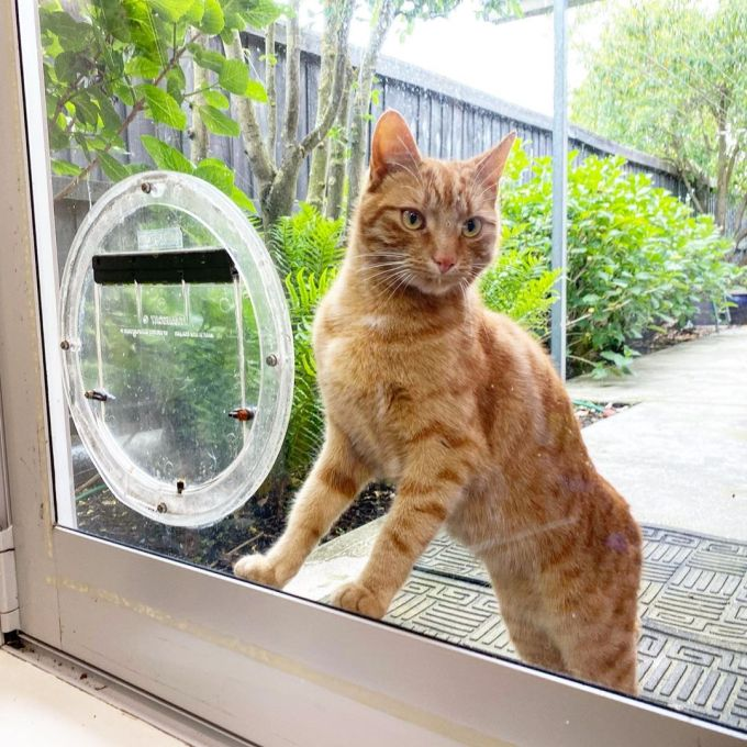 Jack the cat standing at the cat flap, looking inside