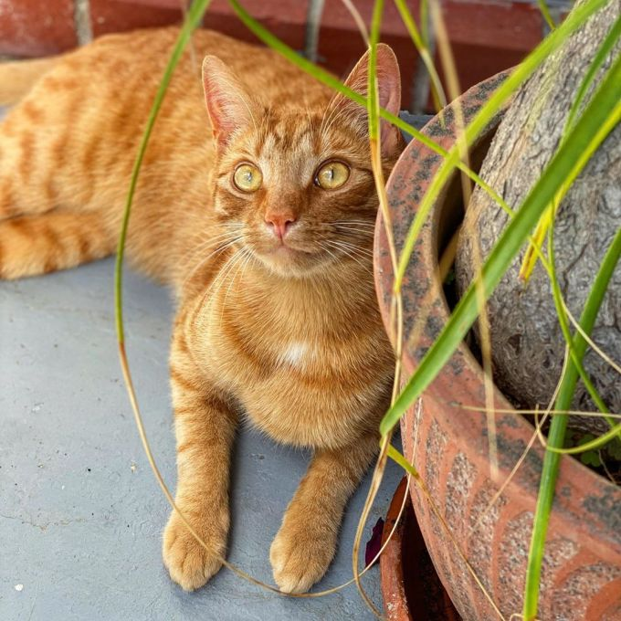 Jack the ginger cat lying down on the patio and against a brick house next to a potted plant