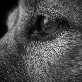 Close-up of a dog's eye showing each strand of fur, in black and white