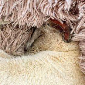 Lilac point Tonkinese (Sissy) cuddled in her blanket on 20 April 2020