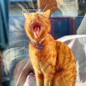 Ginger cat (Jack) yawning in the sunshine while waiting for his snack with his name tag on his collar