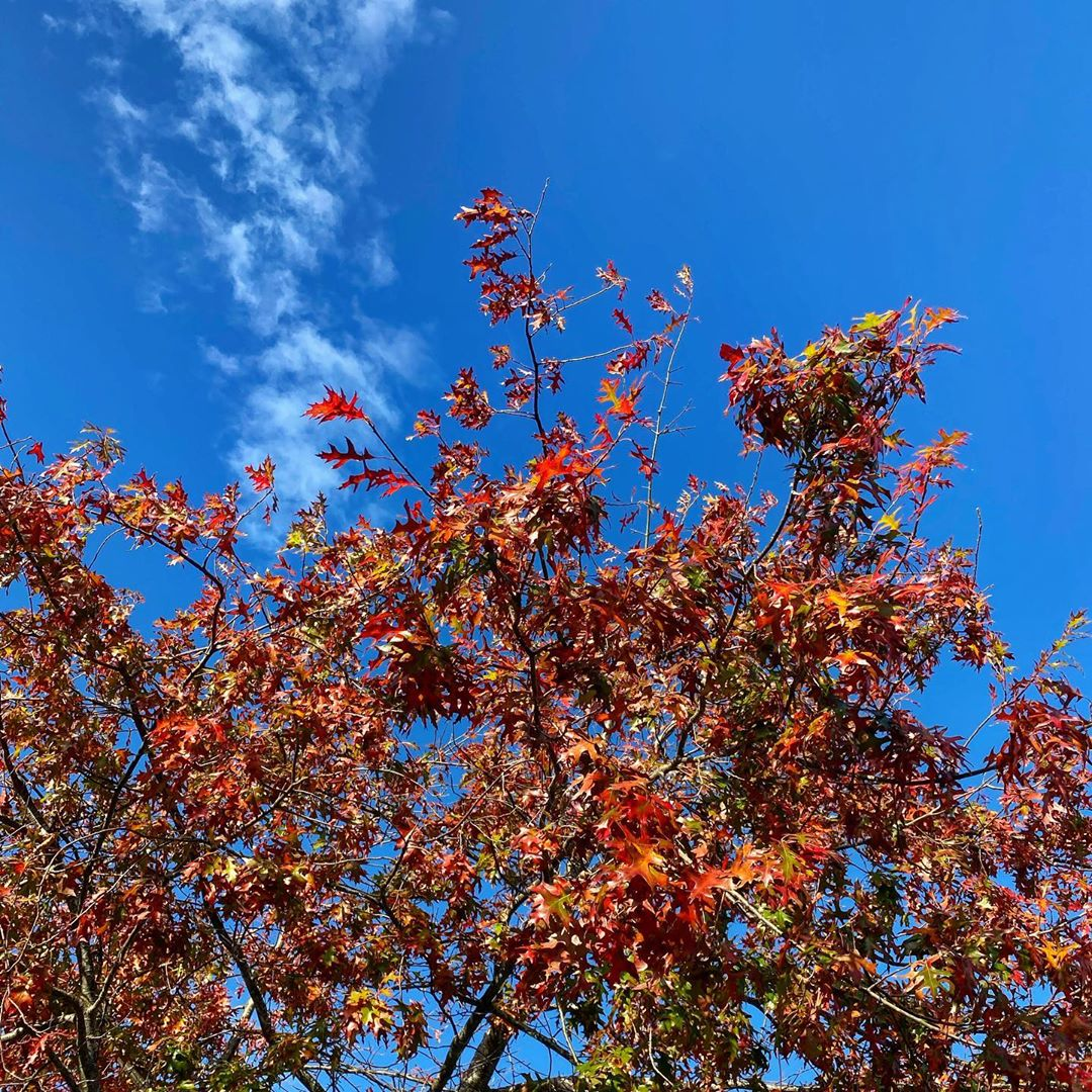 Red and orange leaves of our oak tree against a blue sky - 14 April 2020