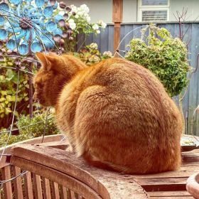 Jack the ginger cat facing away from me, lying on a wooden bar outside