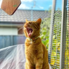 Jack the orange tabby cat yawning and wanting his dinner - May 2020