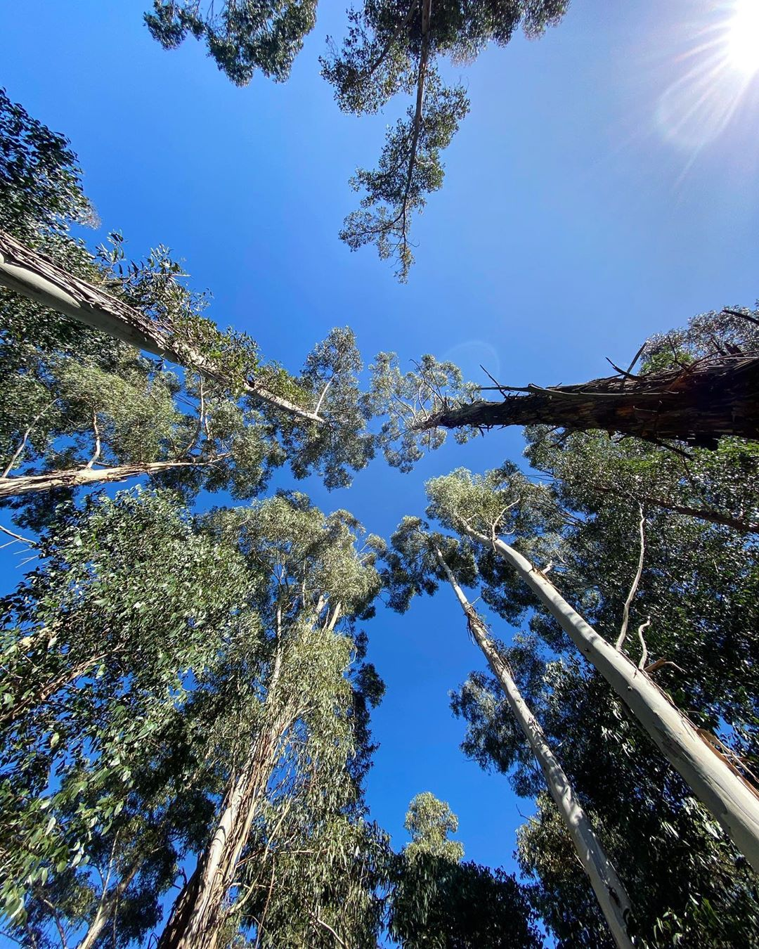 Looking up at the canopies of trees from the ground with clear blue sky and the sun shining in the corner