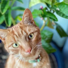 Jack the ginger cat looks lovingly at the camera with a Buddha's Paw plant in the background
