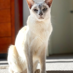 Lilac point tonkinese cat sitting on the carpeting in the sunshine (Sissy) on 25 July 2020