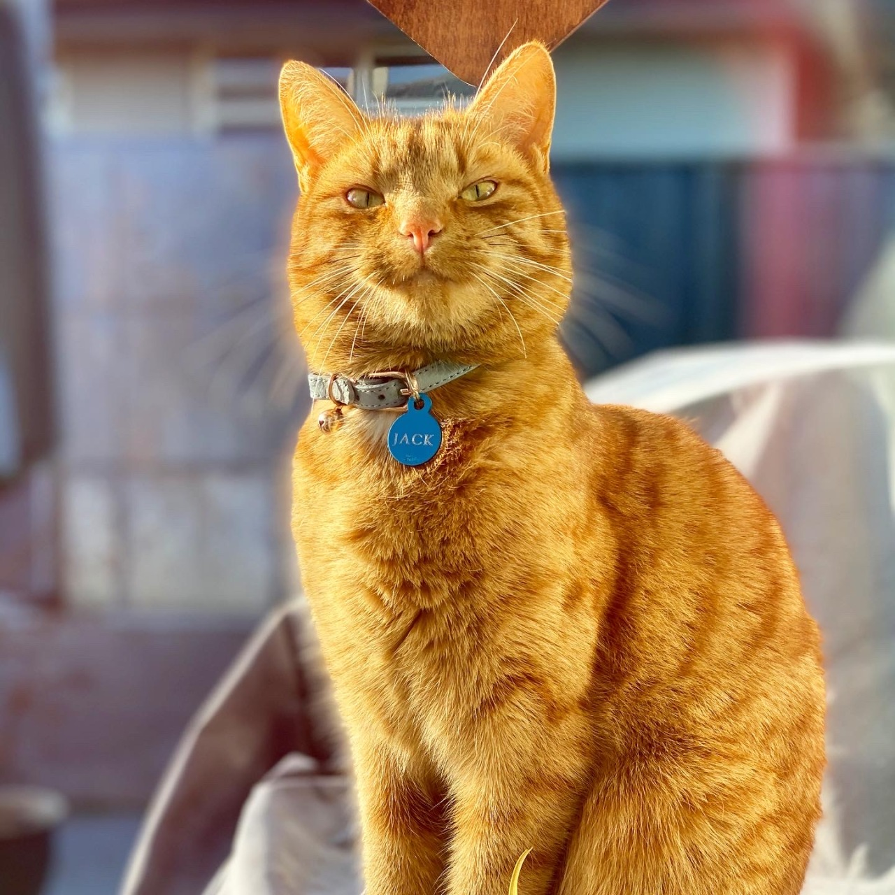Ginger cat (Jack) looking very happy after being fed on 29 July 2020