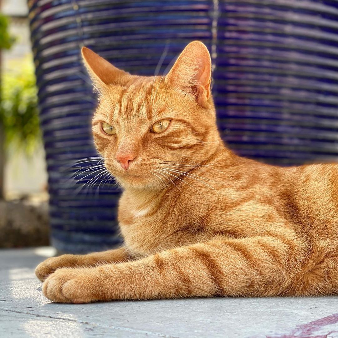 A ginger cat (Jack) lying on the patio near a blue pot