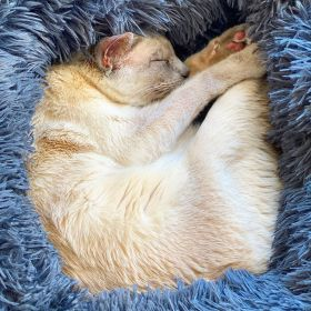Lilac point Tonkinese cat sleeps curled up in her new blue fluffy bed