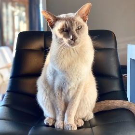 Lilac point Tonkinese cat (Sissy) sits on a black faux leather chair at a breakfast bar while the sun shines on her from the side
