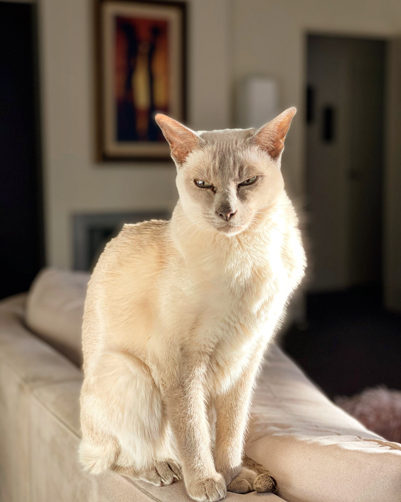 Lilac point Tonkinese cat (Sissy) sitting in the sunshine on the back of a cream-colored couch in a living room