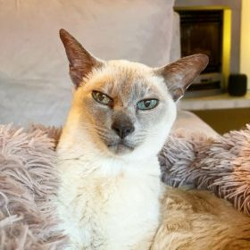 Lilac point Tonkinese cat (Sissy) lying in her fluffy bed on the couch - 28 March 2020
