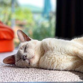Lilac point Tonkinese cat (Sissy) lying on carpet, enjoying the sunshine and the summer heat, 2 February 2020