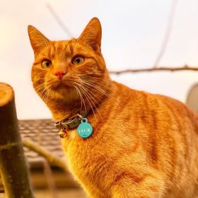 Jack the ginger cat sitting in an apple tree as the sun is setting