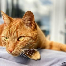 Jack the ginger cat looking at something while he's lying down on a barbecue cover