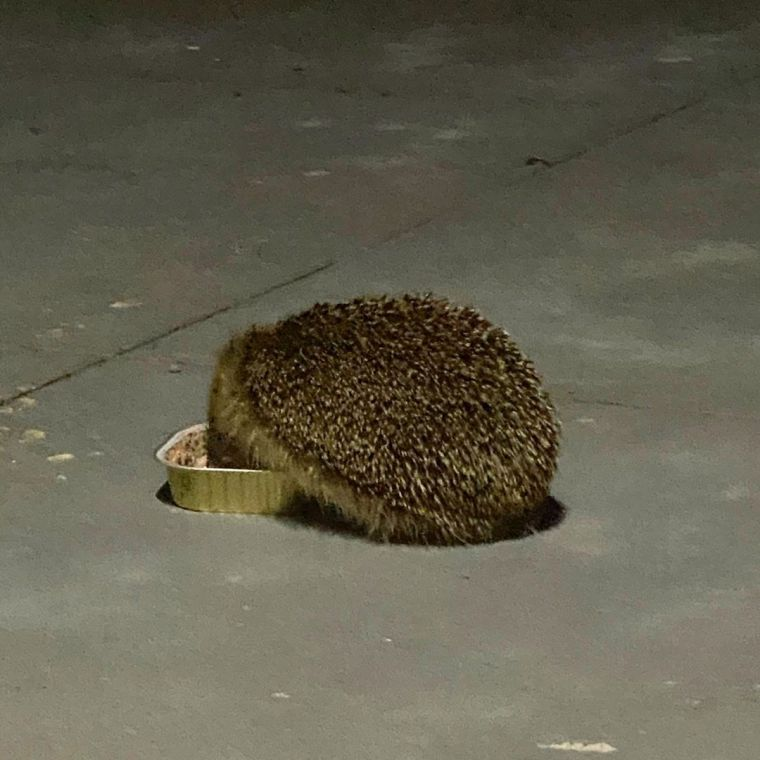 Hedgehog eating cat food on the patio