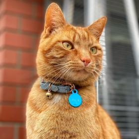 Ginger cat looking at birds playing on the lawn behind the camera