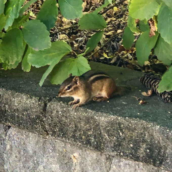 Chipmunk sitting on a brick fence under leafy bush