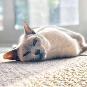 Sissy the lilac-point Tonkinese cat lying on the carpet in the sunshine looking lovingly at the camera