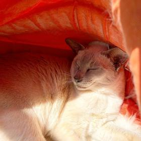 Sissy the lilac-point Tonkinese cat asleep happily in her orange igloo
