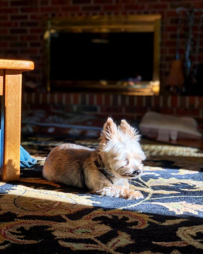 Sydney Silky dog lying down in a shaft of warm morning sunlight on a navy blue and gold rug in a darker room