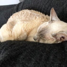Sissy the lilac-point tonkinese cat asleep on a black wool blanket