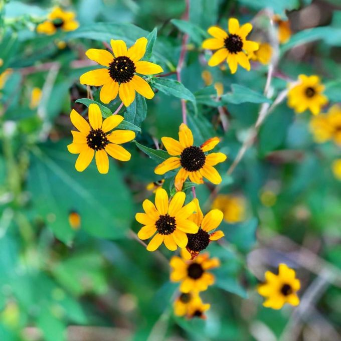 Black-Eyed Susan flowers with green leaves behind them
