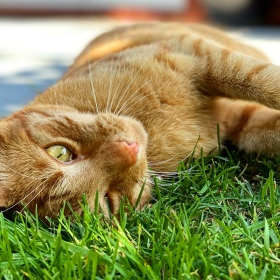 Jack the ginger cat is rolling over onto his back in the green grass