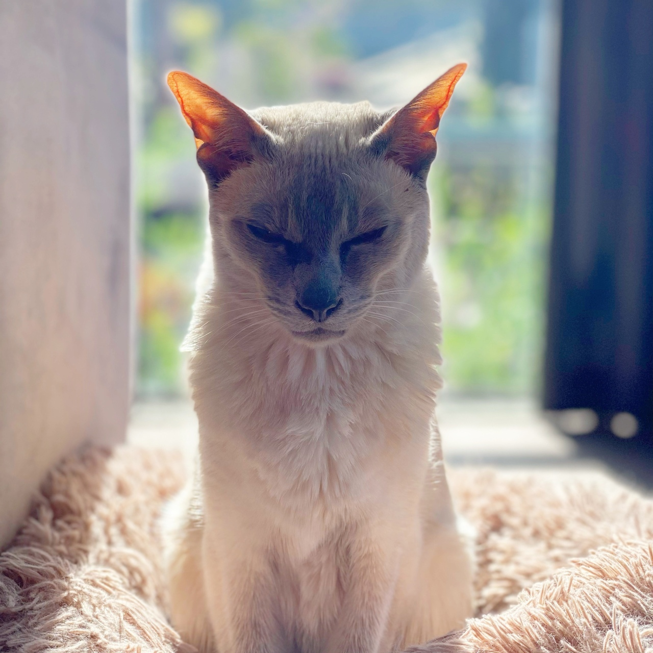 Sissy the lilac point Tonkinese cat sitting in her fluffy bed with the sun shining on her back