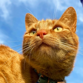 Jack the ginger cat looking into the distance with a blue sky behind him