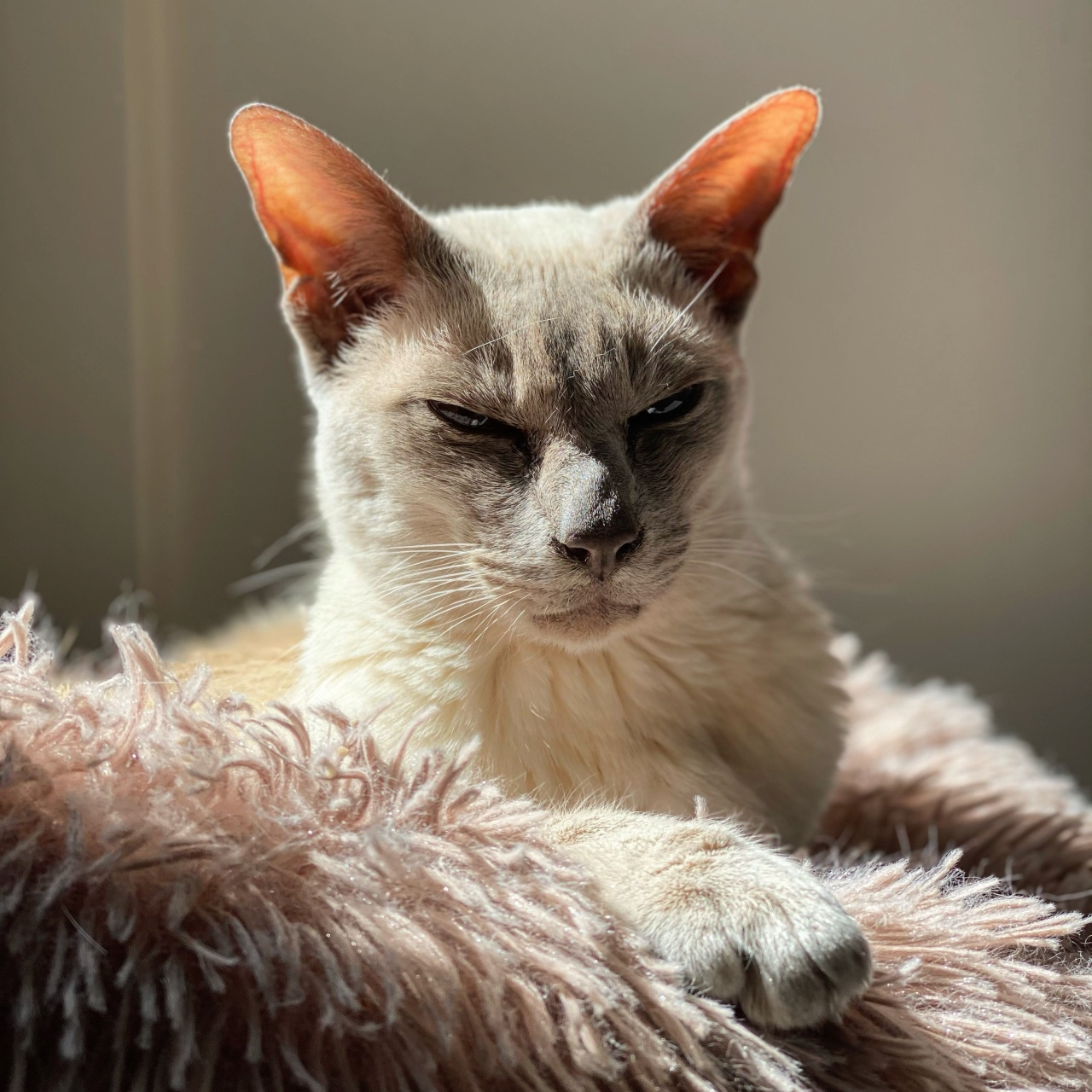 Sissy the lilac Tonkinese cat lying in her bed looking pensive as the sun casts shadows on her face