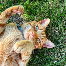 Jack the ginger cat is on his back on the green grass, rolling around and looking at the camera, on a hot summer's day