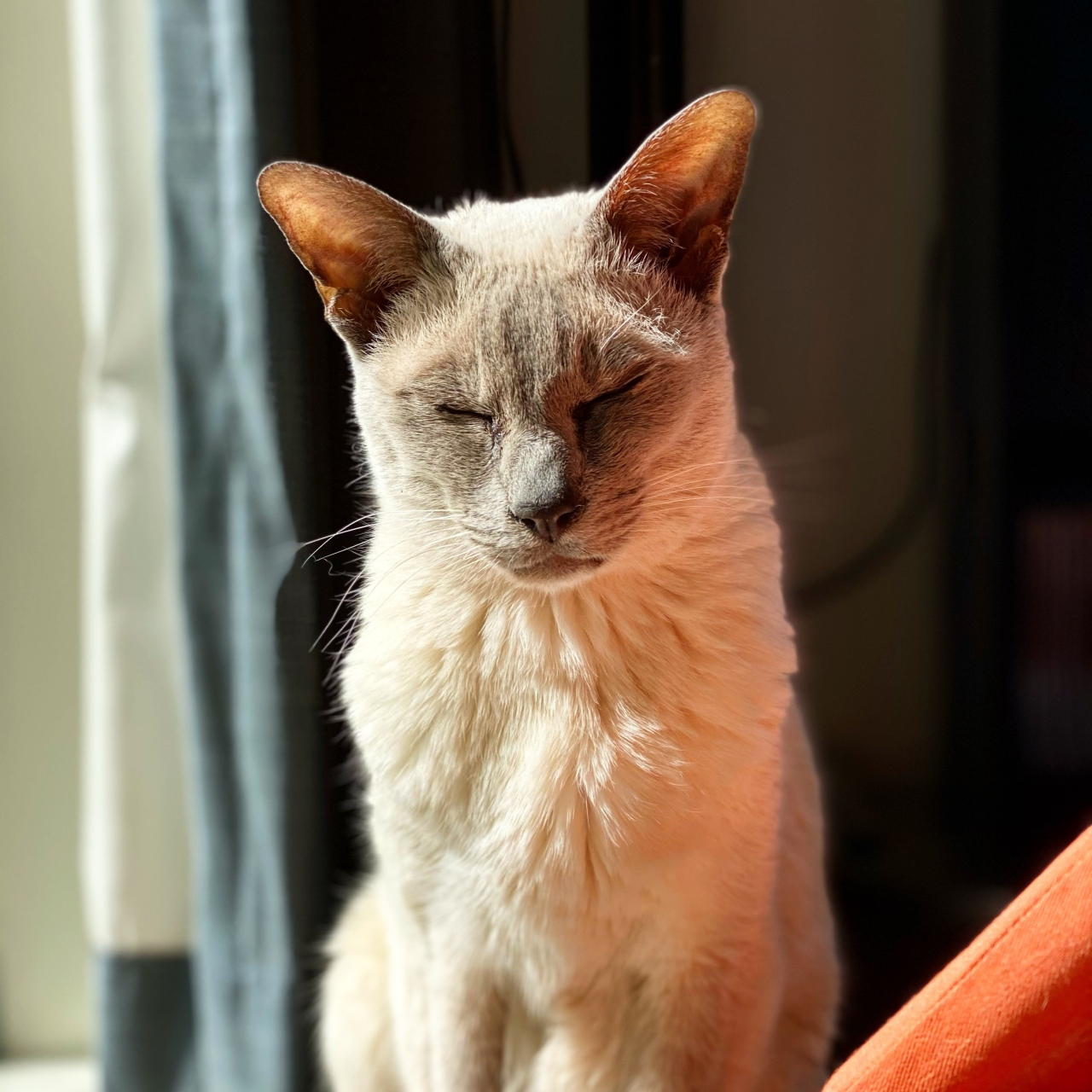 Lilac point Tonkinese cat named Sissy enjoys the summer sunshine with her eyes closed and a smile on her face