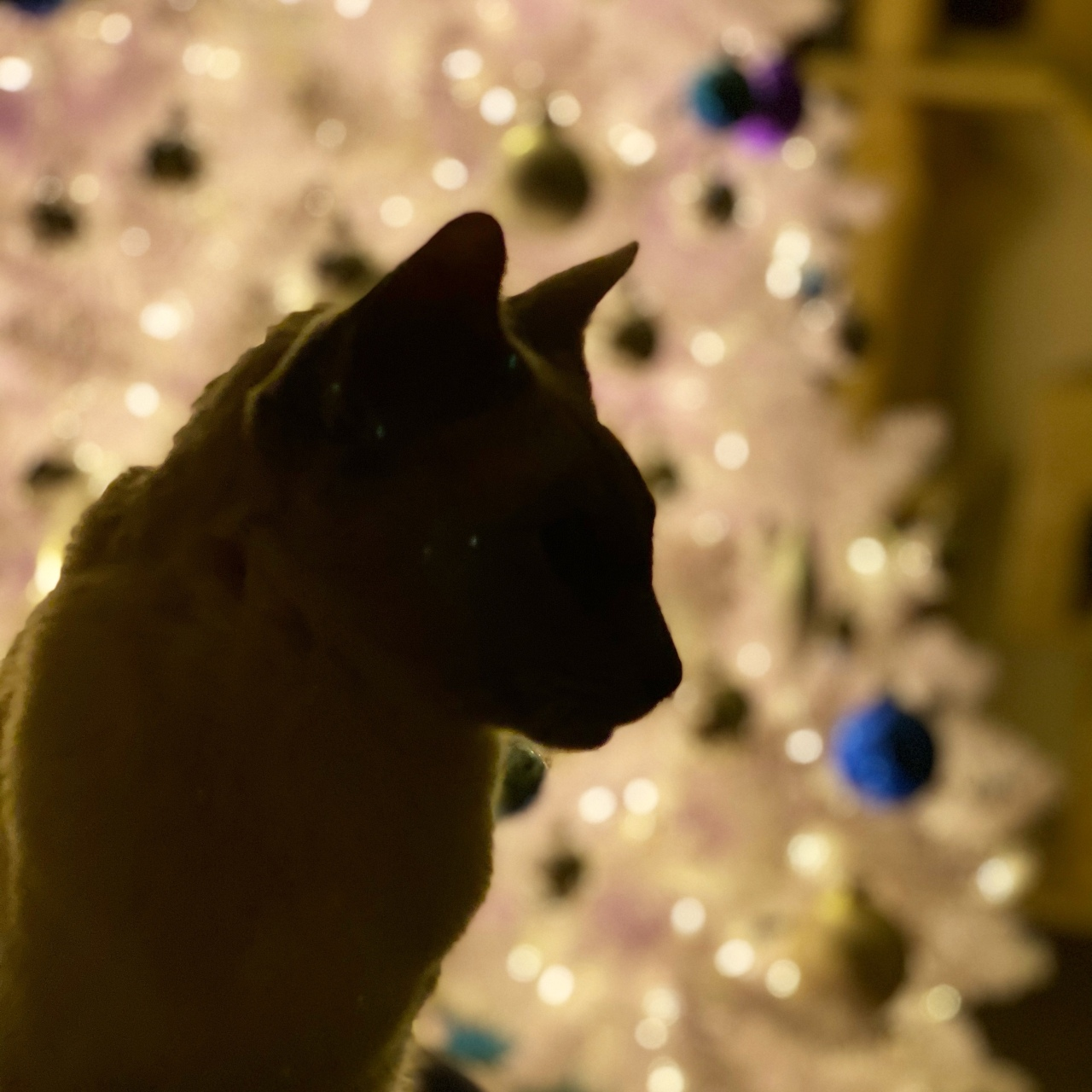 Silhouette of Sissy, a lilac point Tonkinese cat, with a white illuminated Christmas tree behind her