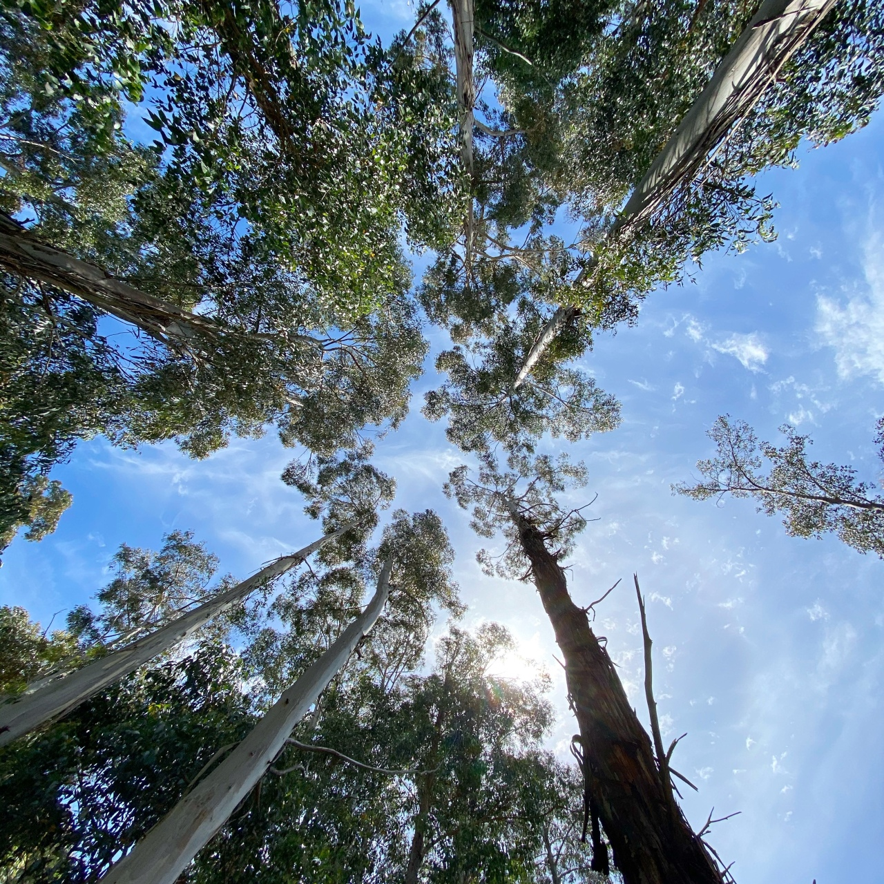 Large trees pointing upwards towards the light blue sky with the sun peeking behind some of the tree tops in the outer circle