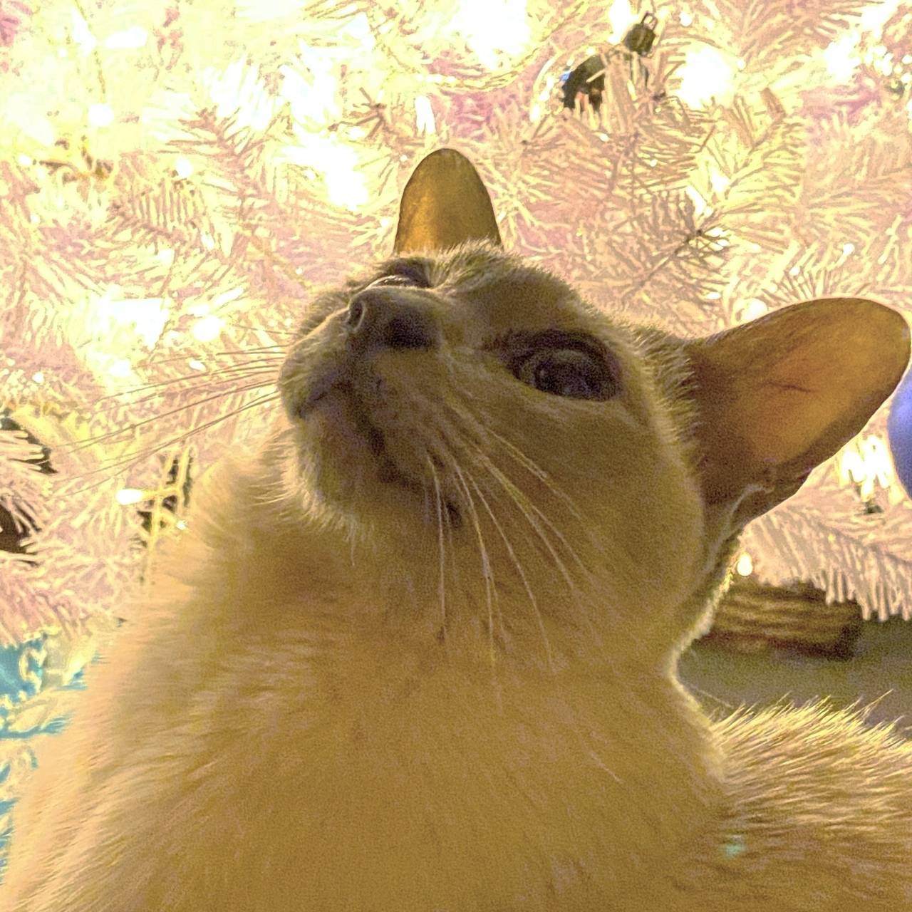 Sissy the lilac point Tonkinese cat is looking up with an illuminated white Christmas tree behind her