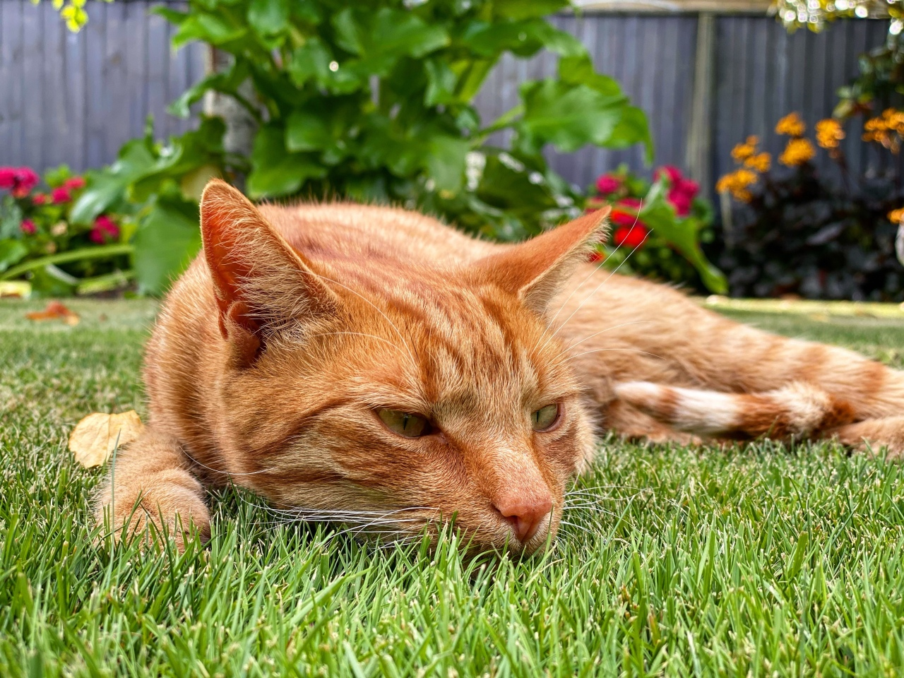 Ginger cat named Jack lying flat on the cool green grass on a hot summer day