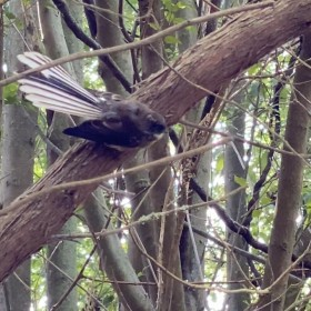 New Zealand fantail is perched on a tree branch with his tail partially open