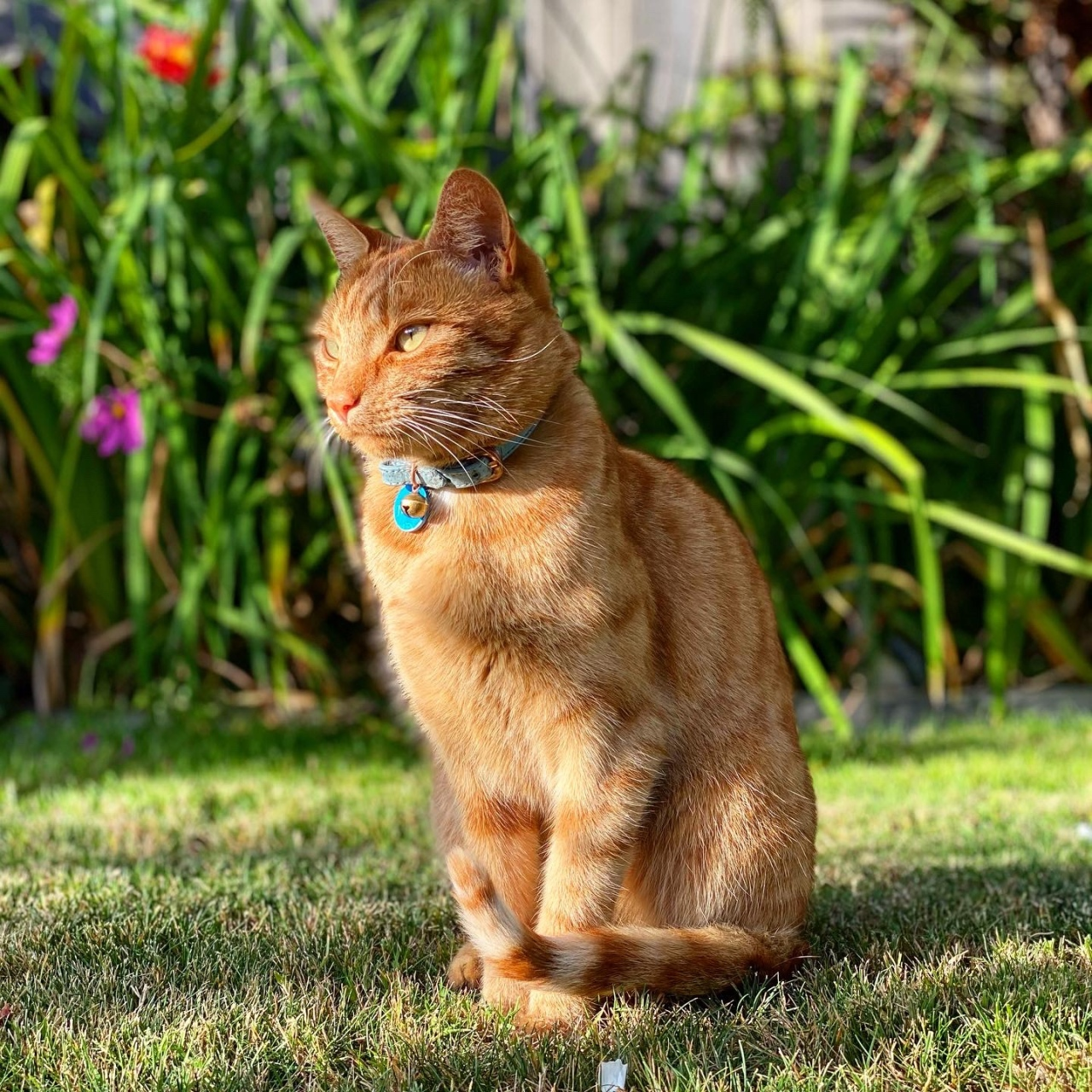 Jack the ginger cat sitting in the grass with the sunlight on his face